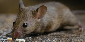 Curious how to Remediate Animal Infestation – 7 steps from the experts > Insulation> Insulation Blogs - Information - Building Science> Curious how to Remediate Animal Infestation – 7 steps from the experts 7 Green Attic Insulation experts steps to eliminating animal infestation from your attic. Most homeowners discover a mice, squirrel, or raccoon issue by hearing noises in the attic, finding stains on the ceiling of the living space, or smelling a foul odor coming from the attic. Making a call to remedy the situation should include several estimates, opinions, and treatment ideas. We will provide a detailed list of items we recommend based on our experience. To ensure animal infestation is stopped, a sealed exterior building envelope is crucial. Common questions asked by homeowners during the estimating process for animal infestation are how much will it cost? does my homeowners insurance cover costs? should we have all the insulation removed first? is the existing insulation deemed unusable? will the insulation smell if we leave it in place after disinfection? do i need to leave my home during the remediation treatment portion? what is the difference between fiberglass insulation and cellulose insulation? does cellulose insulation get mineral treatment to prevent pests? 7 expert recommended treatments to remedy animal infestation in the attic include: air sealing the attic floor to prevent mice from reaching the attic floor by sealing the penetrations around vent stacks, hvac, plumbing and electrical penetrations, and framing gaps while the attic floor may be sealed after attic treatment, the mice will still nest in the walls, basement and crawl space if the exterior penetrations are not treated * step 7 removing feces / droppings with high powered vacuum while leaving the existing insulation in the attic disinfecting the entire attic to neutralize odors and kill bacteria ( similar to cleaning a rug from dog or cat urine ) providing baffles for ventilation in eve